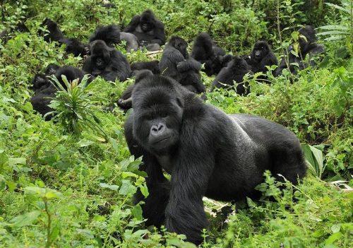 How to get Gorilla Permit – Trekking Mountain Gorillas in Rwanda